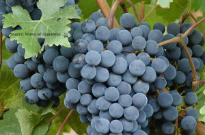 Argentina Bonarda Grape Vine 2