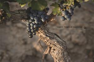 Argentina Malbec Old Vine