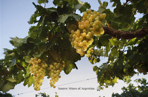 Argentina Torrontes Grape Vine